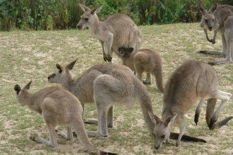 Les premiers kangourous, ceux que les Piche n'ont pas mangé.